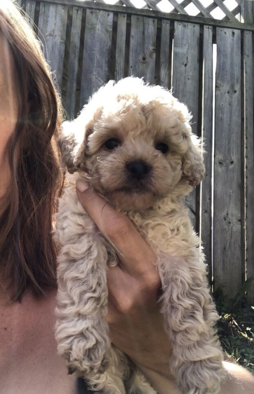 Beautiful mini Toy poodle puppies