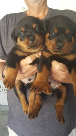 German Rottweiler Puppies available ready to go